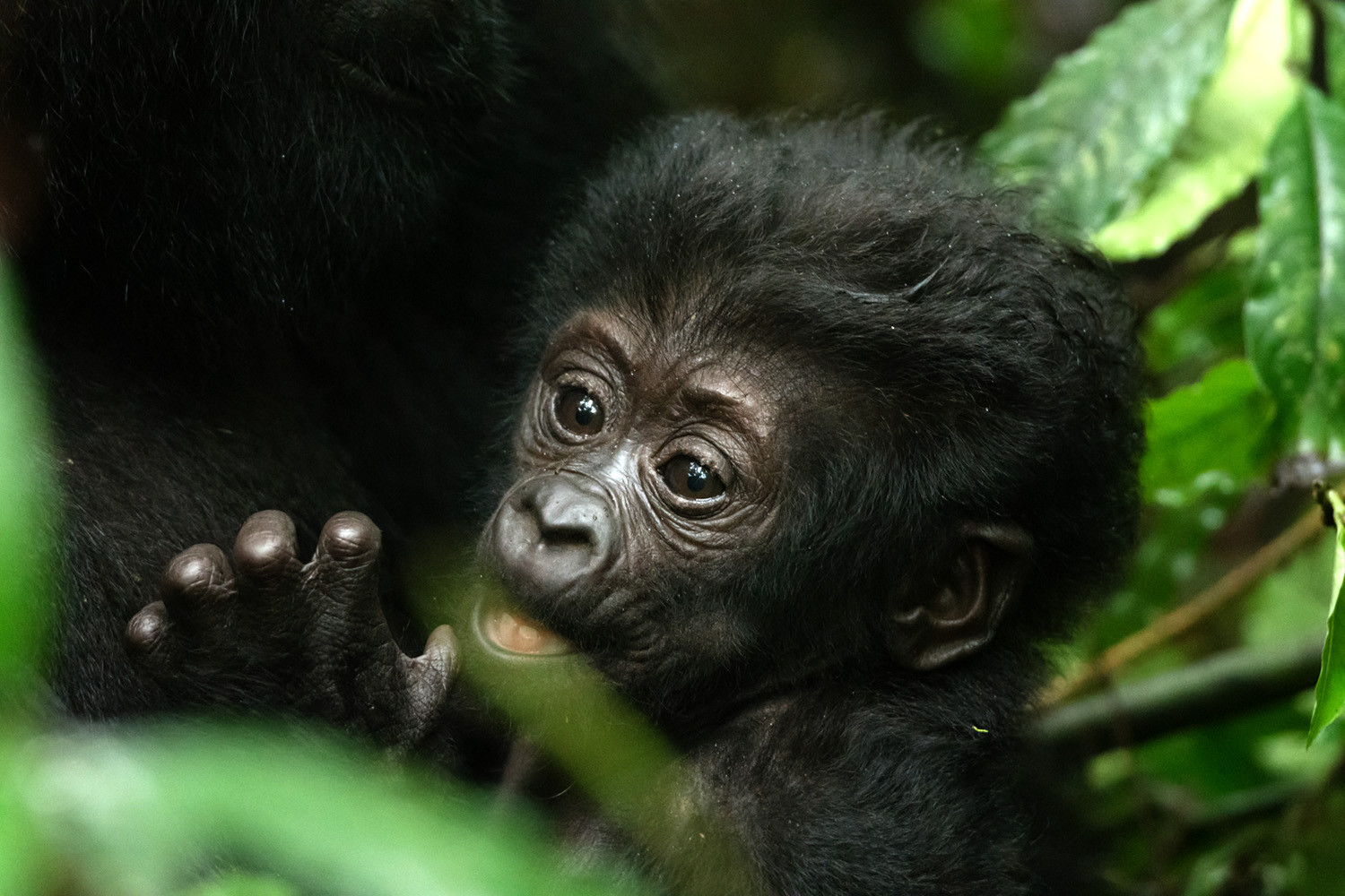 A program to save Uganda's chimps launched
