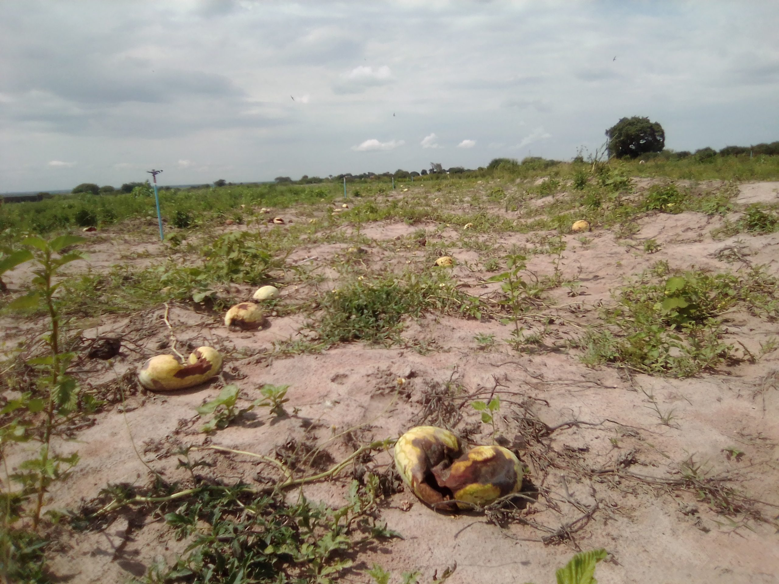 Reaping from Harm; a slow extinction of Uganda's wetlands: Locals hit by changing weather patterns as swamps along Lake Kyoga dry up